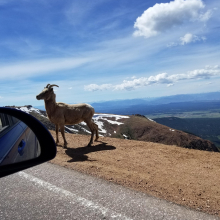 Ram on top of Pikes Peak